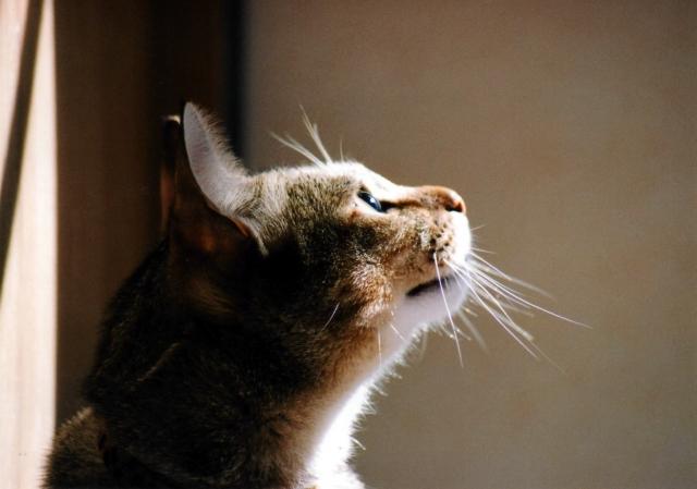 遠くを見る猫