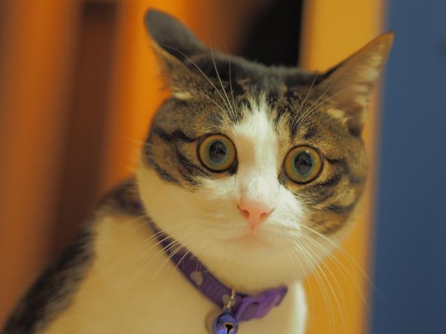 目を開いて驚く猫ちゃん